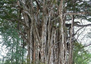 Explore Cabuya Costa Rica - Famous Giant Pochote Tree