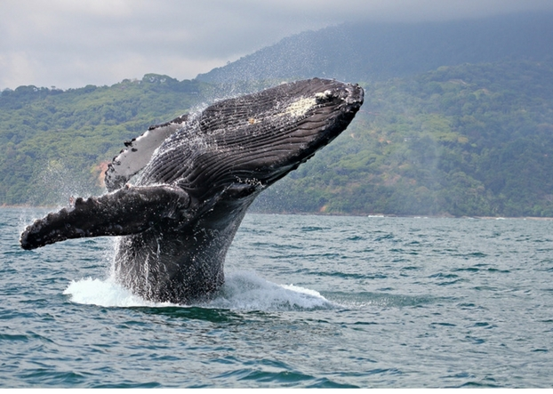 Explore Golfito Costa Rica Whale Season Tours