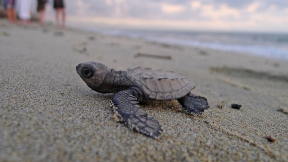 Explore Pavones Sea Turtles Costa Rica